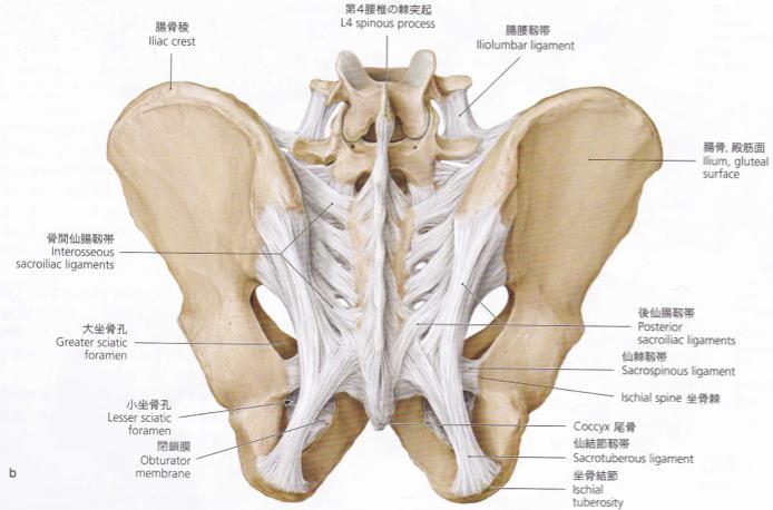 「女性骨盤靭帯イラスト」の画像検索結果